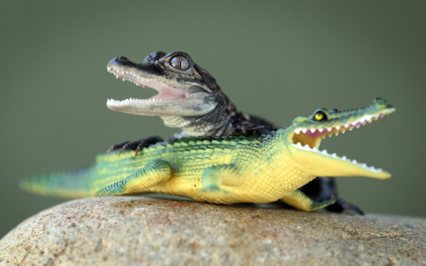 Baby American Alligator Plays With A Rubber Toy Alligator