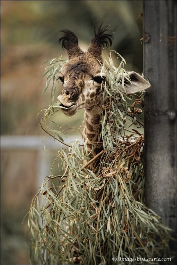 Here Its Ghillie suit not yet fully assembled we get rare glimpse of the beautiful but deadly Sniper Giraffe