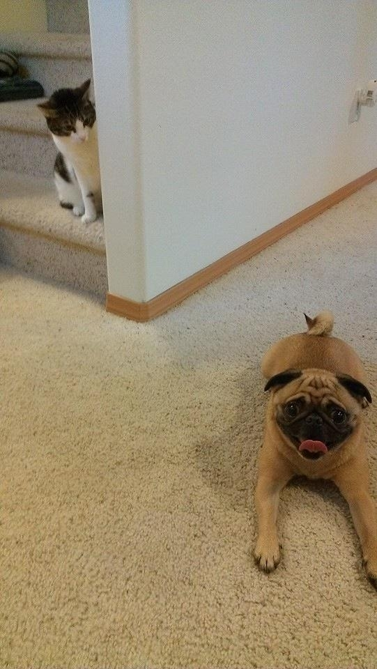 Moments before my pugs first encounter with his cousin Hes always been blissfully unaware
