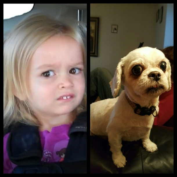 my dog looks like the girl from that meme 259325 my dog looks like the girl from that meme meme guy