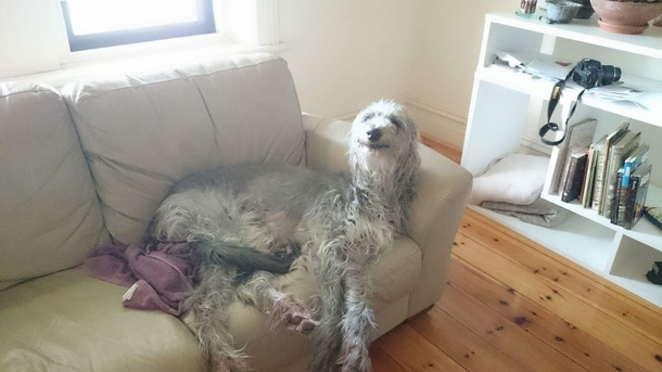 My friends Deerhound is a cross between Snoop Dogg and Falcor