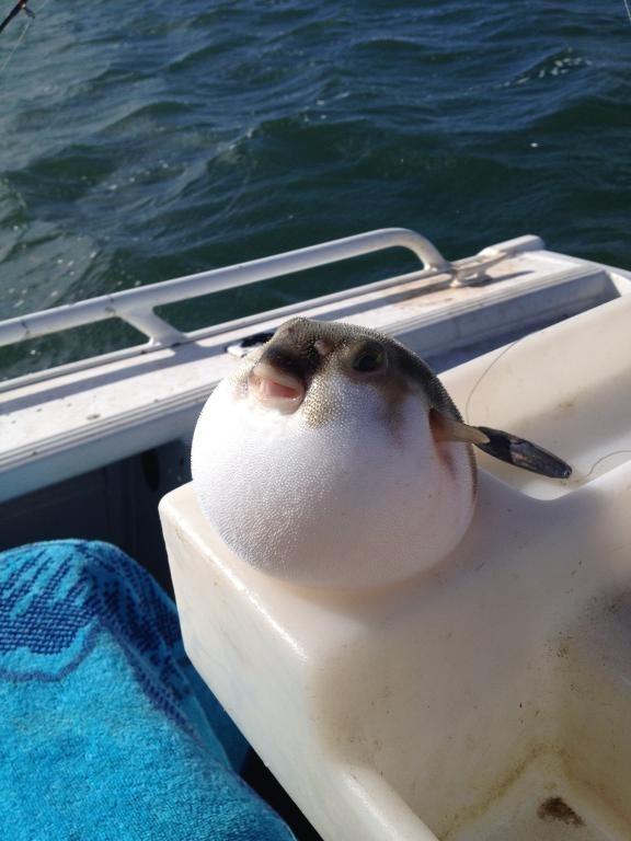 My mum caught this pufferfish on the weekend - Meme Guy