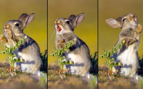 Photographer caught a baby bunny trying to eat a thistle