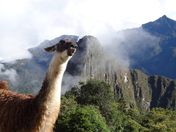 Pic #1 - I was top comment earlier on a post about a llama in Machu Piccu You guys sent me a bunch of funny llama pics as replies so I compiled them all into  album Enjoy