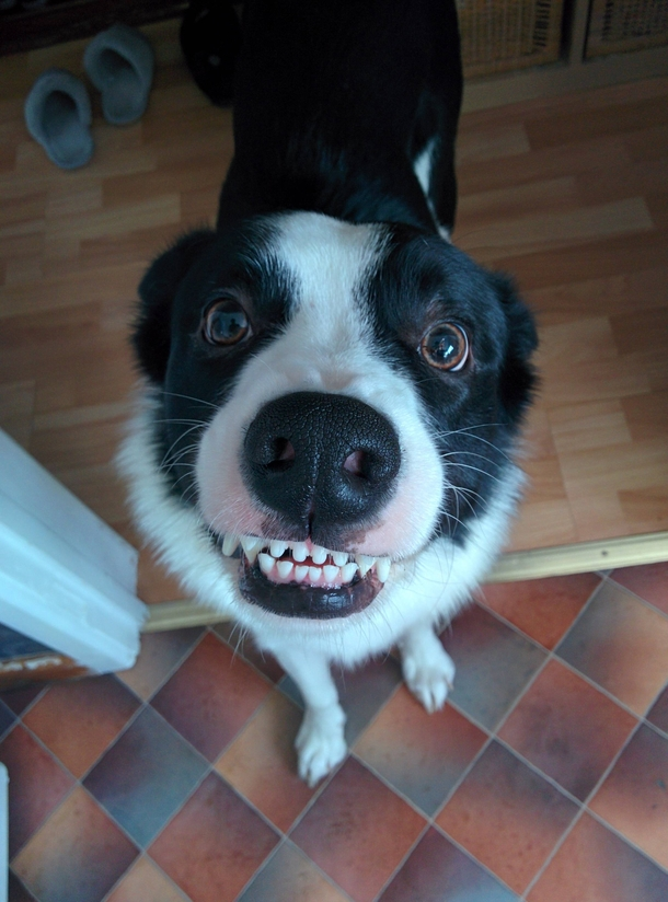 Pic #1 - My friends smiling dog Rambo He smiles every time