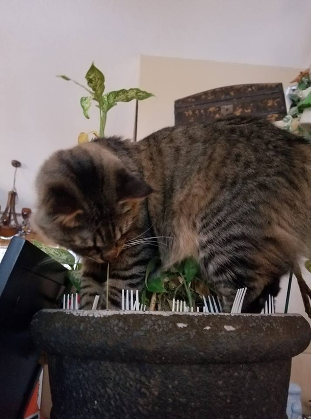 Pinterest told me to put forks in my planters to deter cats
