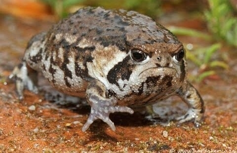 This frog looks like every person whos asked to speak to the manager in a retail setting