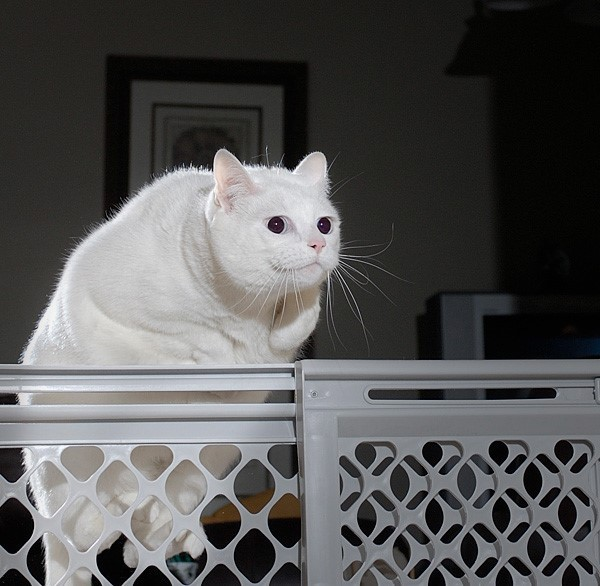 This Is A Fat Cat That Looks Like Falkor Jumping Over Something