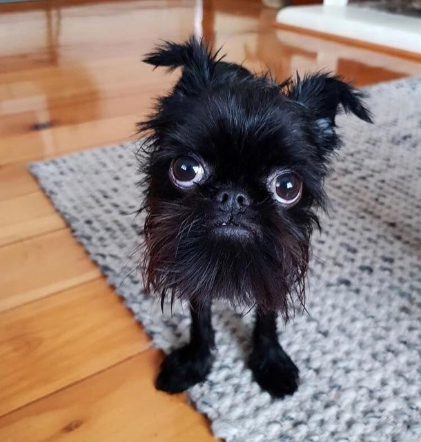 This little monster is a Brussels Griffon