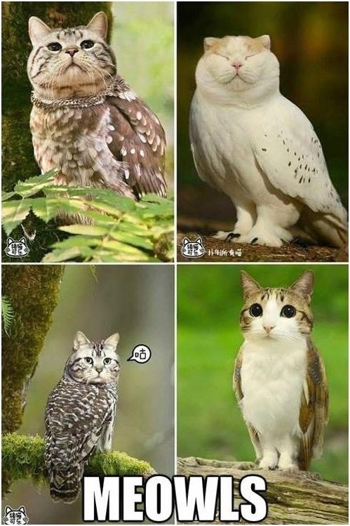 What do you get when you combine a cat and an owl