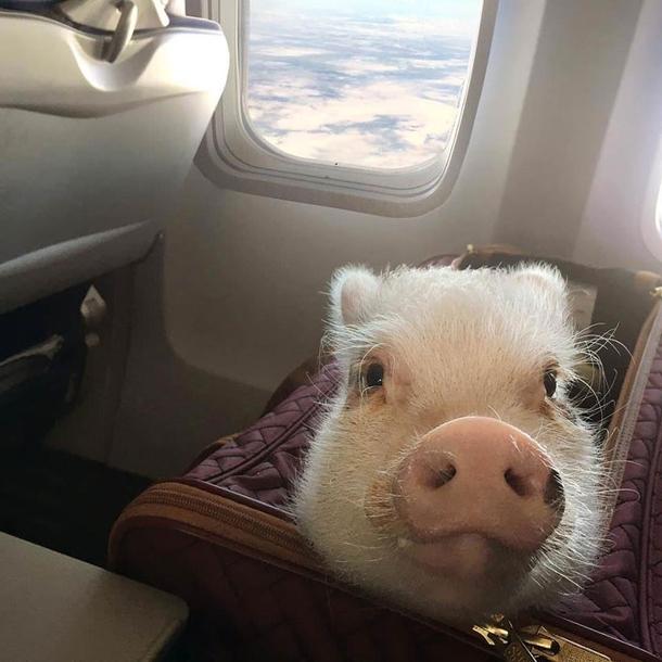 When Pigs Fly Meme Guy