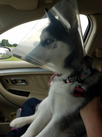 brought our husky to get spayed this morning Im pretty sure she is plotting my death