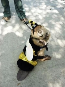A beaver dressed as a bee