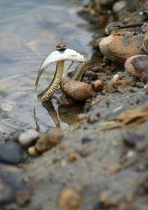 A brave snake saving a fish from drowning