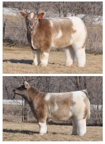 A cow after being washed and fluffed