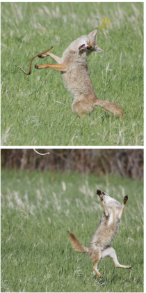 A coyote and a snake having some good rollicking fun