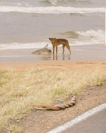 A dingo eating a shark  snakes having sex welcome to Australia