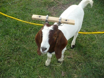 A farmers solution to a goat who kept getting his head stuck in a fence