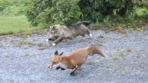 A fox being chased by a cat