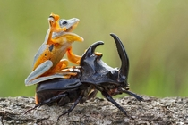 A frog riding a beetle