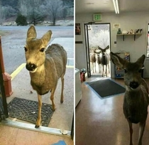 A Gazelle entered a shop in the state of Colorado The owner decided to give him some chocolate and biscuits He left  half an hour later he came back bringing his entire adorable family