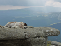A livestock guardian dog hard at work in Romania