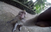 A monkey stole my GoPro while I was in Indonesia It seems that he fully adapted to the selfie culture