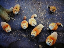 A pack of foxes Waiting  Lunch