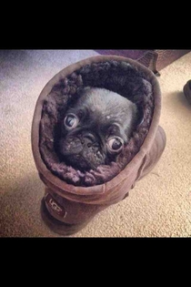 A Pug in an Ugg on the Rug looking snug