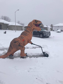 A rare glimpse of the suburban t-rex in its natural habitat Their stubby arms necessitated the development of tools here we see one in the wild futilely attempting to maintain its territory