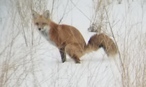 A red fox visited our backyard She asserted dominance