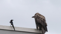 A vulture escaped from a zoo in the Netherlands and it was harassing some magpies in Rotterdam