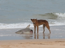 A wild dingo eating a shark Welcome to Australia