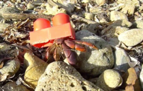 After years of evolution the hermit crab has evolved its shell to something humans hate to step on