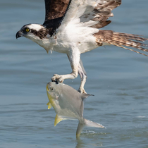An osprey saving a fish from drowning