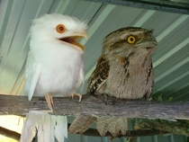 Apparently the weirdness of the albino Potoo is too much for his normally pigmented brother