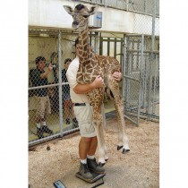 Apparently this how you weight a baby giraffe