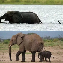 Baby elephant crossing a river