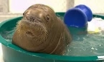 Baby walruses look like old men that just received shocking news