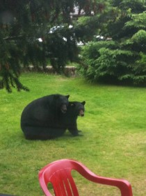 Bear back on my front lawn