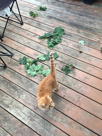 Beginning earlier this summer my cat began bringing us maple leaf twigs I have no insight as to why Lately oak leaf twigs have also made an appearance