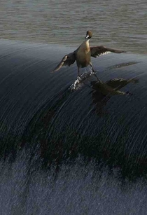 Behold the coolest duck you will EVER see