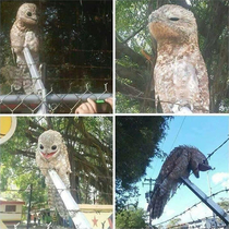 Behold the majestic Potoo bird