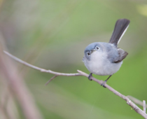Blue-gray gnatcatcher has had enough of your shit