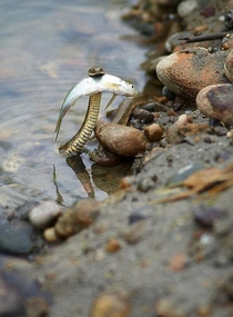 Brave snek saves fish from drowning