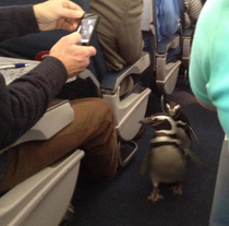 Breaking Science News Researchers discover penguins can indeed fly