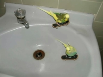 Budgies Skating