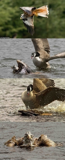 Canadian geese are assholes