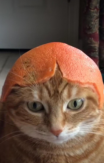 Cat with grapefruit for today