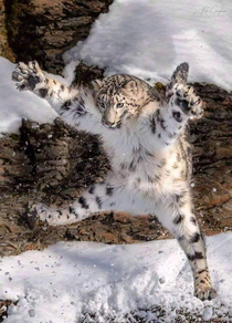 Caught in the Act Leaping Snow Leopard